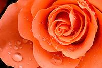 Roos (Rosa spec.)