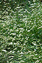 Sanguisorba 'Burr Blanc', early August.