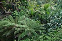 Le Domaine du Rayol:<br /> le jardin de Nouvelle-Zélande, le long du ruisseau, fougères arborescentes (Dicksonia & Cyathea), Ropalostylis sapida, palmier le plus austral. et lin de Nouvelle-Zélande (Phormium tenax).