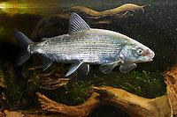 Große Maräne, Große Schwebrenke, Renke, Kilch, Felchen, Coregonus widegreni, Coregonus lavaretus, freshwater houting, powan, common whitefish, Renken, Maränen, whitefishes, lake whitefishes, coregonines