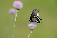 Pipevine Swallowtail (Battus philenor),adult feeding on Texas thistle (Cirsium texanum), Fennessey Ranch, Refugio, Coastal Bend, Texas Coast, USA