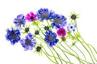 Blue  scabiosa caucasica flowers.