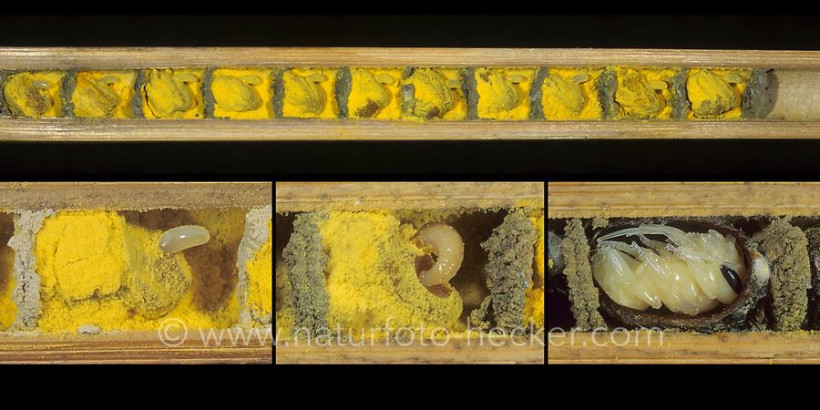 Rote Mauerbiene, Ei, Eier, Larve, Made, Puppe, Brutröhre, Niströhre im Querschnitt, Entwicklung, Entwicklungsreihe Entwicklungsstadien, Brutkammer mit Pollen gefüllt, Rostrote Mauerbiene, Mauerbiene, Mauer-Biene, Osmia bicornis, Osmia rufa, red mason bee, mason bee, L'osmie rousse, Mauerbienen, mason bees