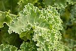 Kale leaf.