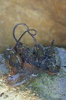 Köcherfliegen-Schlupfwespe, Köcherfliegenschlupfwespe, Wasserschlupfwespe, Wasser-Schlupfwespe, parasitierte Köcherfliegenlarve mit Seidenband, Atemband, Agriotypus armatus, Agriotypus abnormis, Agriotypidae