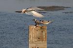 Tern Feeding Chicks 3