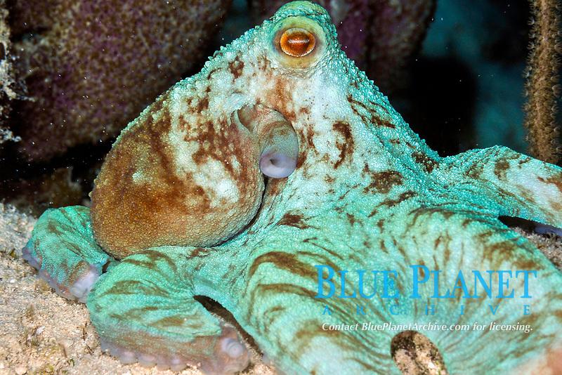 Octopus, Octopus briareus, feeding, at night, Paradise Reef, Cozumel, Mexico, Caribbean Sea
