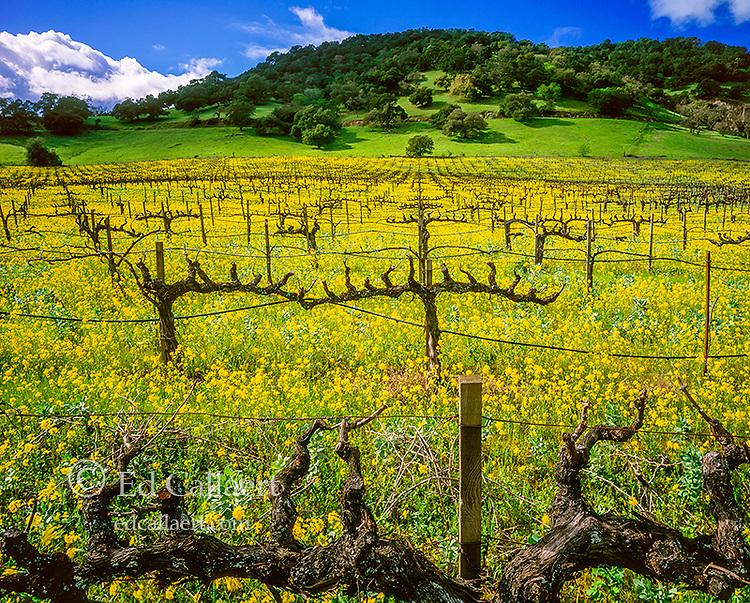 Mustard, Dormant Vines, Yountville, Napa Valley, California