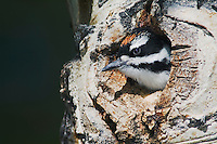 Hairy Woodpecker, Picoides villosus,young in nesting cavity in aspen tree,Rocky Mountain National Park, Colorado, USA