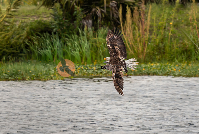 Bald Eagle chasing an Osprey in flight. The two birds are beside each other over water.