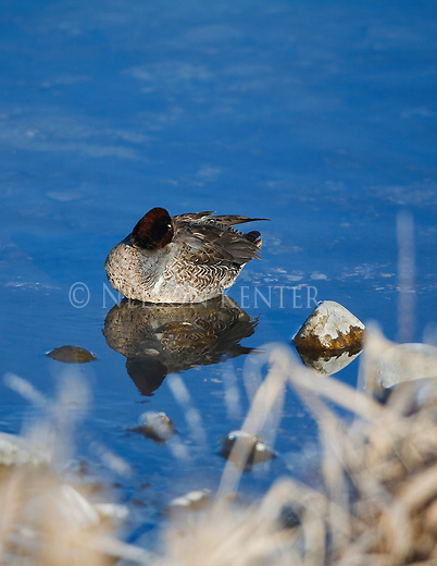 A Green Winged Teal roosting in water near shore