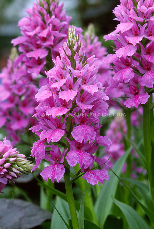 Hardy Orchid Dactylorhiza 'Harold Esslemont', Ground growing hardy Garden Orchid Hybrid