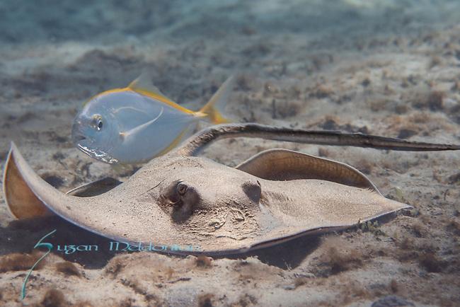Atlantic stingray, Dasyatis sabina