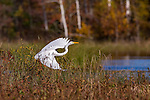 Great egret in northern Wisconsin