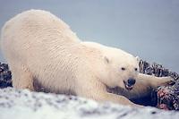 polar bear, Ursus maritimus, scavenging on bowhead whale bones, Balaena mysticetus, 1002 area of the Arctic National Wildlife Refuge, Alaska, polar bear, Ursus maritimus