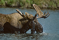 Alaskan Bull Moose (Alces alces) feeding on water plants in small Alaskan pond.  Summer.