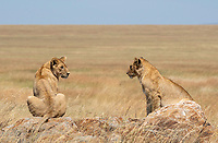 Two Lion cubs, Panthera leo melanochaita, in Serengeti National Park, Tanzania