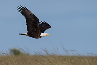 Bald Eagles on San Juan Island would occasionally zoom in low whenever they saw foxes with a meal, in hopes of swooping in to steal some food.