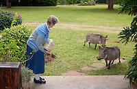 Feeding the warthogs (Phacochoerus africanus), Langata (a suburb of Nairobi), Kenya