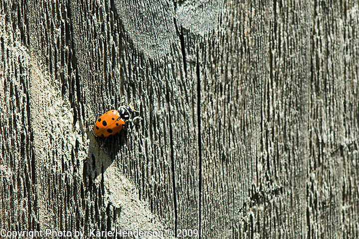 Ladybug, Hippodamia convergent or Ladybird, found here on a fence in Ventura, California, have a habitat ranging from forests, fields, grasslands, gardens and crops.  They are a favored insect for farmers who utilize them to eat other insects eating their crops. Shot with a Nikon D300 hand held..