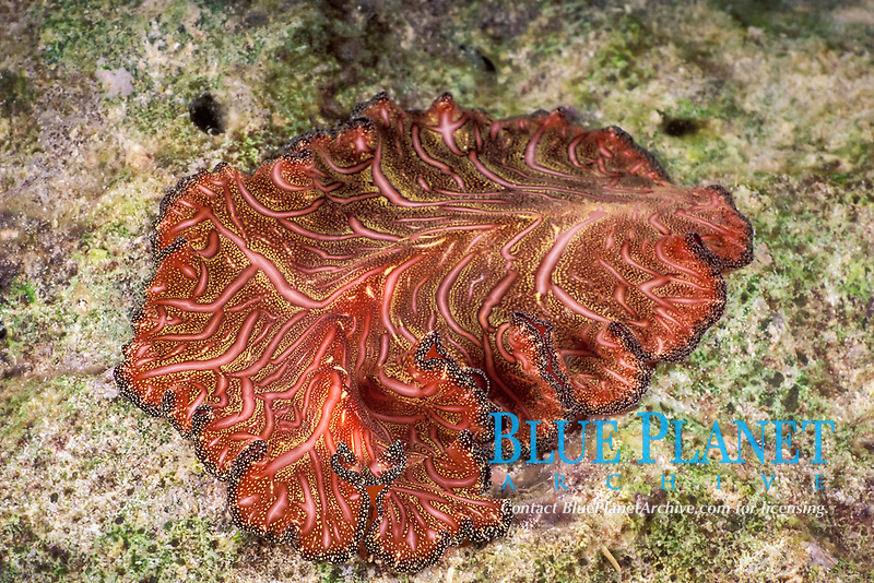 Bedford's flatworm, Pseudobiceros bedfordi, Great Barrier Reef, Australia (Western Pacific Ocean)
