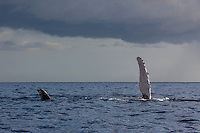 Humpback whales displaying pectoral fin and tail off the coast of Maui.