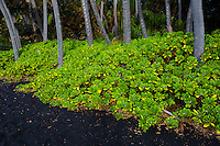 This Black Sand Beach in Hawaii is home to numerous Hawaiian green sea turtles.  Here, the sunrise highlights the verdant green growth along the edge of the beach and beginning of the dense forest.