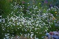 Leucanthemum maximum (syn. Chrysanthemum maximum) white flowering shasta daisy perennial, flowering in mixed border at Marin Art and Garden Center