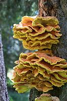 Schwefel-Porling, Schwefelporling, Schwefelporlinge, Gemeiner Schwefelporling, an einem Nadelbaumstamm, Porling, Laetiporus sulphureus, sulphur polypore, sulphur shelf, chicken mushroom, crab-of-the-woods, chicken-of-the-woods, le Polypore soufré