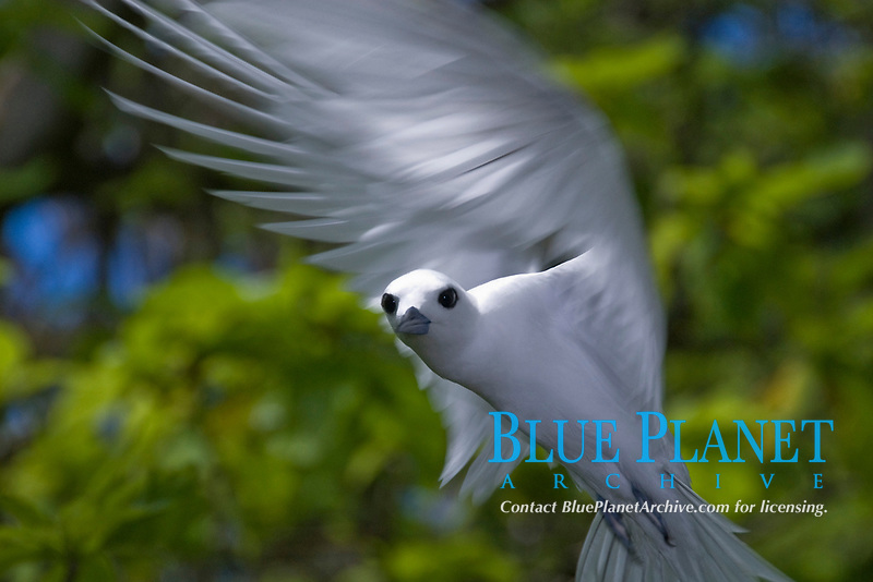 White or Fairy Tern, curiously coming in close, Gygis alba, Palmyra Atoll NWR, Line Islands, Pacific Ocean