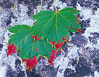 Red beadlike growth on Mountain Maple (acer glabrum) caused by mite (aceria calaceris). Glacier National Park, Montana.