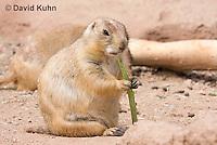 0721-1107  Black-tailed Prairie Dog Eating Prairie Grass, Cynomys ludovicianus  © David Kuhn/Dwight Kuhn Photography