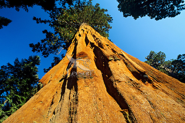 Giant Sequoia Tree Sequoia National Park CA.