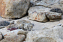The same female snow leopard begins stalking over broken rocky terrain. The cat's camouflage is amazing - they just melt into the rocks and disappear. Keeping track of them in the viewfinder of a camera can be a real challenge. No wonder snow leopards are often called 'grey ghosts'.
