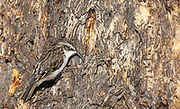 The Brown Creeper is a small bird I've rarely been able to photograph in Yellowstone.