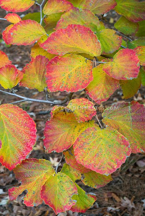 Hamamelis x intermedia Diane witch-hazel in autumn fall foliage color