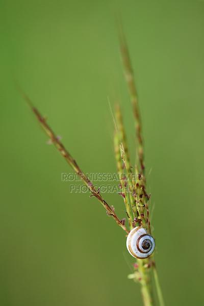 Banded Scrubsnail (Praticolella berlandieriana), resting on grass blade, Dinero, Lake Corpus Christi, South Texas, USA