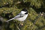 Black-capped chickadee in winter