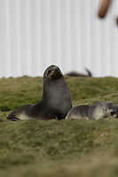 Antarctic Fur seal, Arctocephalus gazella , pup and mother  on grass at Gryviken whaling station South Orkney Islands, Scotia sea Southern Ocean, Antarctica