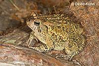 0602-0924  Fowler's Toad, Anaxyrus fowleri [syn: Bufo fowleri (Bufo woodhousii fowleri)]  © David Kuhn/Dwight Kuhn Photography
