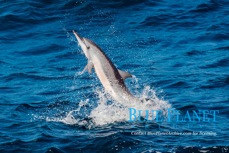 spinner dolphin, long-snouted spinner dolphin, Stenella longirostris, jumping, spinning, Maldives, Indian Ocean