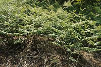 Bosco di felci. Forest of ferns......