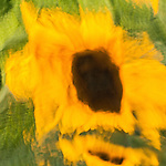 Abstract of yellow sunflower