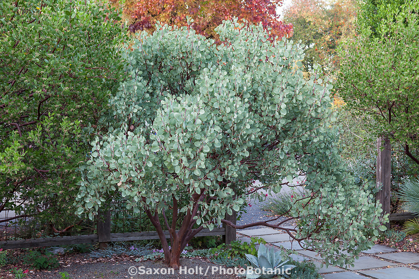 Arctostaphylos viscida - Whiteleaf manzanita, gray foliage native shrub in entry courtyard of Kuzma Garden. Photo MUST be credited as Design by Sean Hogan.