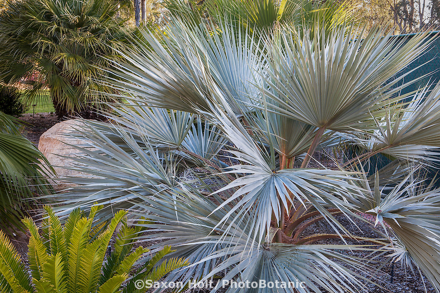 Bismarck Palm (Bismarckia nobilis), silver gray foliage small tropical palm tree in California garden