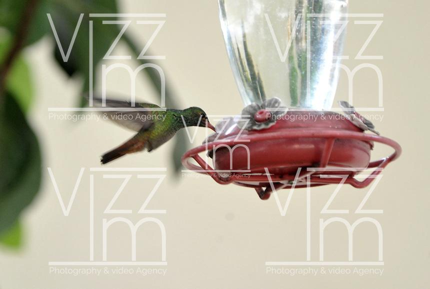 CALI - COLOMBIA, 30-06-2016: Colibri, especie de ave presente en el norte de Cali. / Colibri, bird species present in north of Cali Photo: VizzorImage / Luis Ramirez / Staff.
