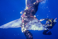 sperm whale, Physeter macrocephalus, entangled with fishing net, Italy, Mediterranean Sea, Atlantic Ocean