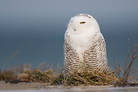 Presumed immature male Snowy Owl (Bubo scandiacus) resting on a pier along the Lake Ontario Shoreline. Cayuga County, New York. December.