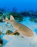 nurse shark, Ginglymostoma cirratum, Key Largo, Florida Keys National Marine Sanctuary, Atlantic Ocean