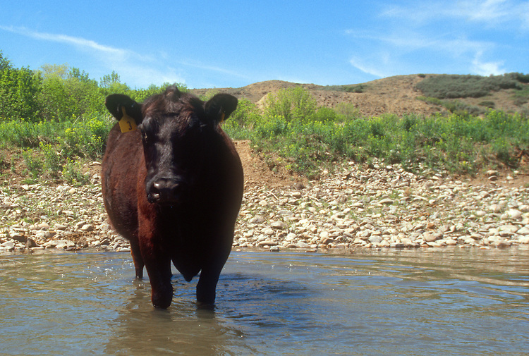 Water Pollution, Steer standing in the Missouri River, Upper Missouri River, Montana, USA.